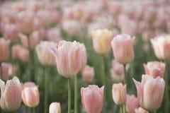 柔和的桃红色郁金香 免版税库存图片