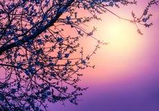 在紫色日落的樱花 库存图片