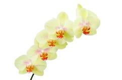 柔和的淡色彩色的黄绿色兰花花 库存图片