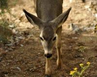 柔和的白色小心地选择她的在道路的被盯梢的鹿步 库存照片