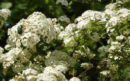 柔和的白花背景 免版税图库摄影