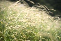 柔和的草 免版税库存照片