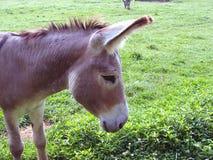 柔和的驴 库存图片