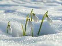 柔和的snowdrops 免版税库存图片