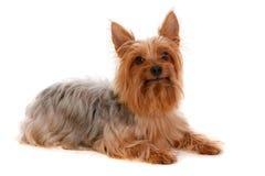 柔滑的狗 免版税库存图片