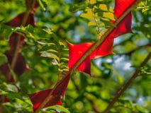 柔滑的玫瑰罗莎sericea 库存图片
