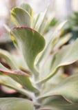 柔软光滑的多汁植物 库存照片