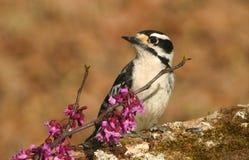 柔软的啄木鸟和红芽绽放 免版税库存图片