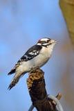 柔软的啄木鸟 库存图片