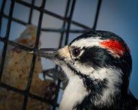 柔软的啄木鸟 库存照片