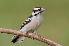 柔软的啄木鸟(Picoides pubescens) 免版税库存图片