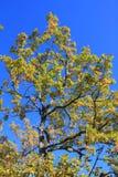柔软的橡木或妙龄橡木叶子和分支  库存照片