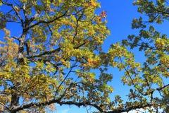 柔软的橡木或妙龄橡木叶子和分支  库存图片