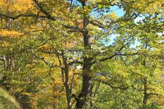 柔软的橡木或妙龄橡木叶子和分支  免版税图库摄影