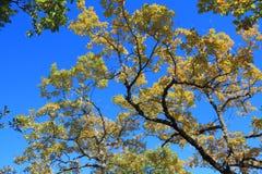 柔软的橡木或妙龄橡木叶子和分支  免版税库存照片