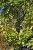 柔软的橡木或妙龄橡木叶子和分支  图库摄影
