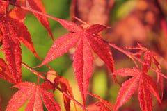 柔软的鸡爪枫。 叶子。 免版税图库摄影