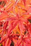 柔软的鸡爪枫。 叶子。 库存照片