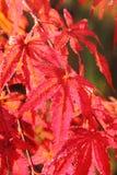 柔软的鸡爪枫。 叶子。 免版税库存图片