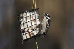 柔软的medianus picoides pubescens啄木鸟 图库摄影
