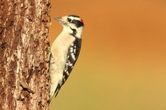 柔软的picoides pubescens啄木鸟 免版税库存照片