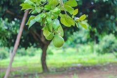 柚在庭院里 库存图片