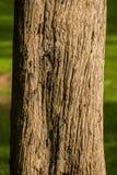 柚木树木头吠声  库存照片