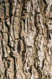 柚木树木头吠声  免版税库存照片