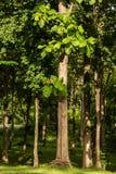 柚木树树 库存图片