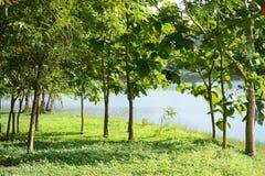 柚木树树 免版税图库摄影