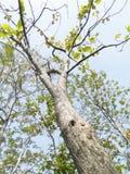 柚木树树 库存照片