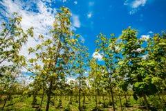 柚木树种植园在泰国3 免版税库存照片