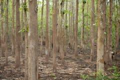 柚木树自然森林,琅勃拉邦,老挝 库存照片