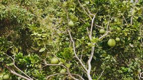柚树用果子 股票视频