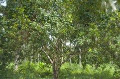 柚结构树 库存照片