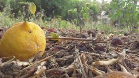 柠檬下跌对地面 免版税库存图片
