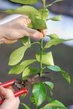 柠檬修剪结构树 免版税库存图片