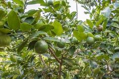 柠檬农场 库存图片