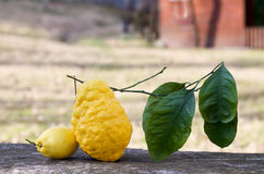柠檬和雪松在一块石头在庭院里 免版税库存图片