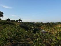 柠檬庭院和天空 免版税图库摄影