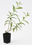 柠檬新鲜马鞭草属植物的厂 免版税图库摄影