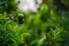 柠檬果子在一个有机庭院里 免版税库存照片