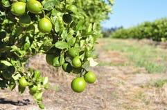 柠檬果树园 库存图片