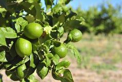 柠檬果树园 免版税库存照片