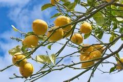 柠檬树分支在索伦托 免版税库存图片