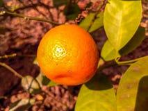 柠檬树在庭院里 库存照片