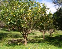 柠檬树果树园 库存照片
