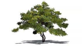 柠檬树用在微风的果子与阴影 库存例证