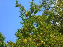 柠檬树用它的果子 图库摄影
