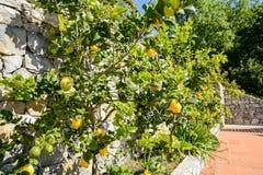 柠檬树用成熟果子在地中海,意大利附近的意大利庭院里 图库摄影